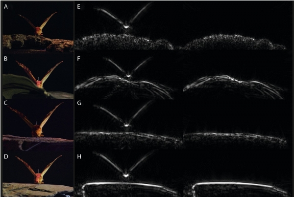 Moths were placed on one of four common surfaces (A) bark, (B) leaf, (C) limestone, and (D) slate. The researchers then generated acoustic tomographies with and without the specimen (left and right in panels E–H, respectively).