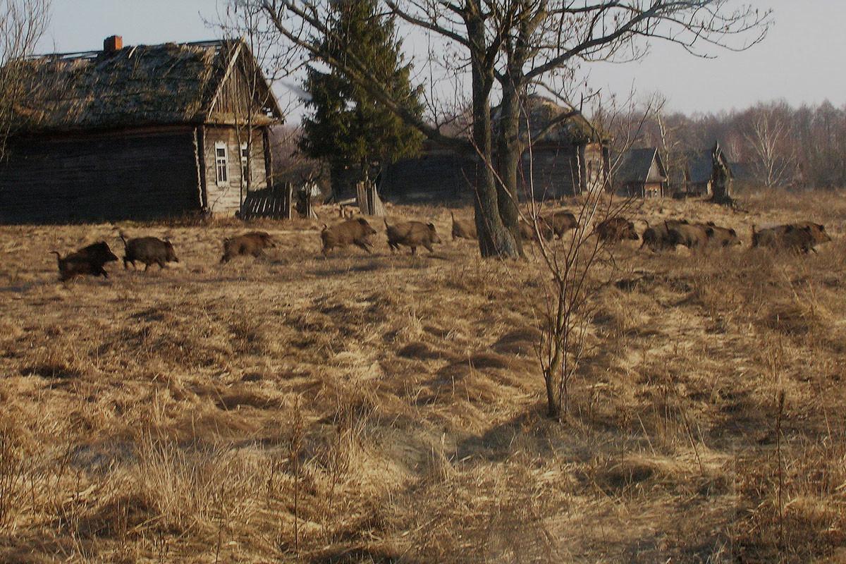 Wild-boar-in-former-village-Valeriy-Yurko