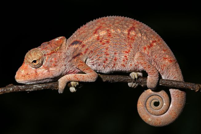 A chameleon tail is famous for its tight spiraling shape.