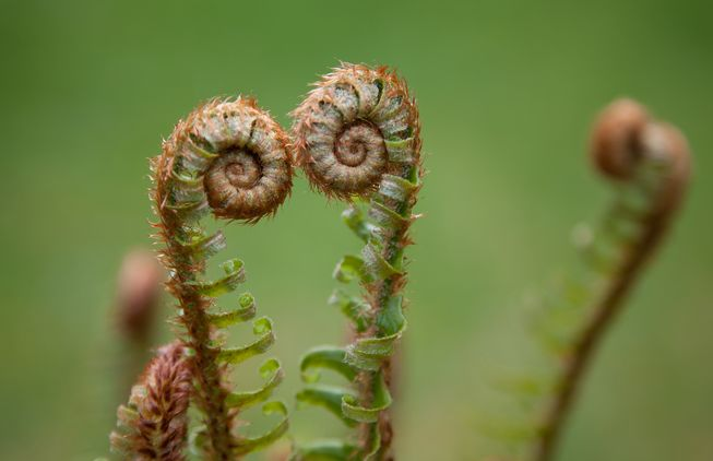 The curled up fronds of a young fern are known as fiddleheads.