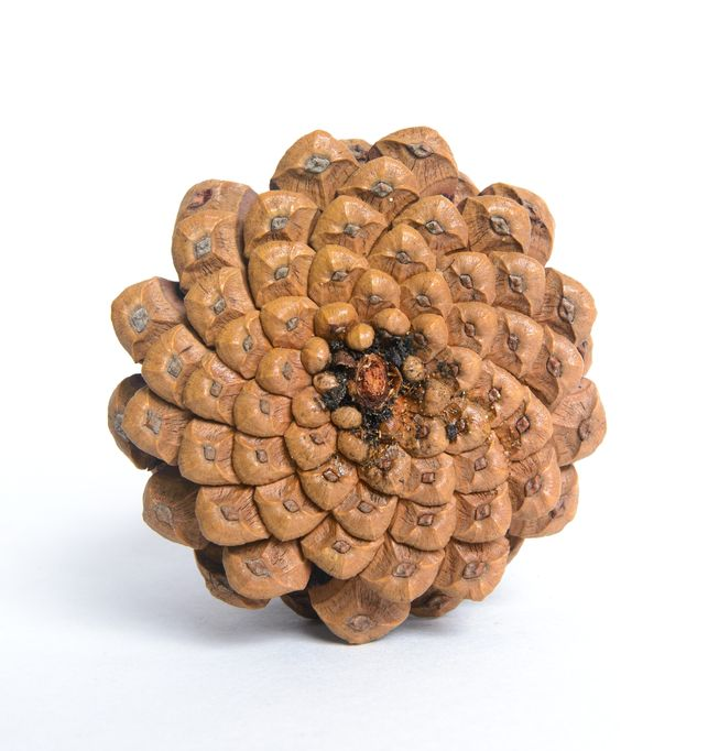 Golden ratio spirals as seen from the bottom of a pinecone.