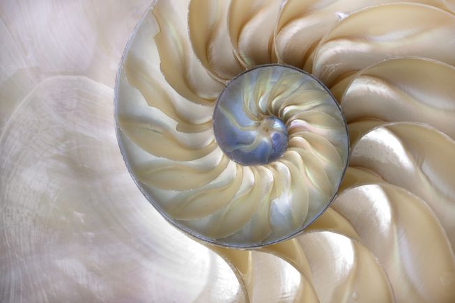 A seashell is one of the most well-known examples of the golden ratio spiral in nature.