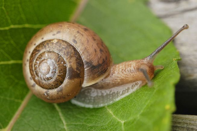 Snail shells are a lovely example of the golden ratio in nature.