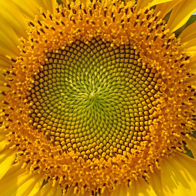 The golden ratio of growth seen in a sunflower head.