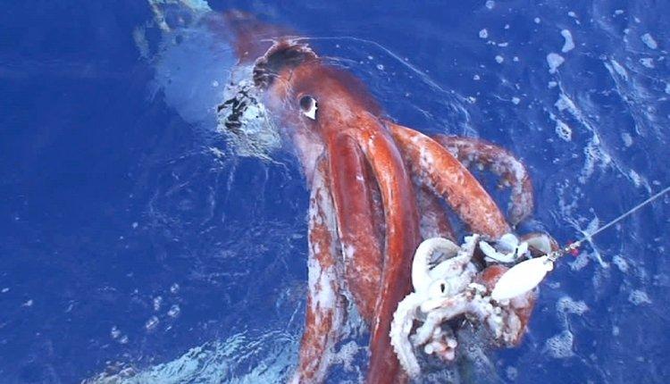 colossal squid, norse mythology, wildlife, nature
